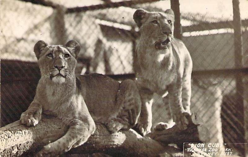 Lion Cub Taronga Park Zoo Front